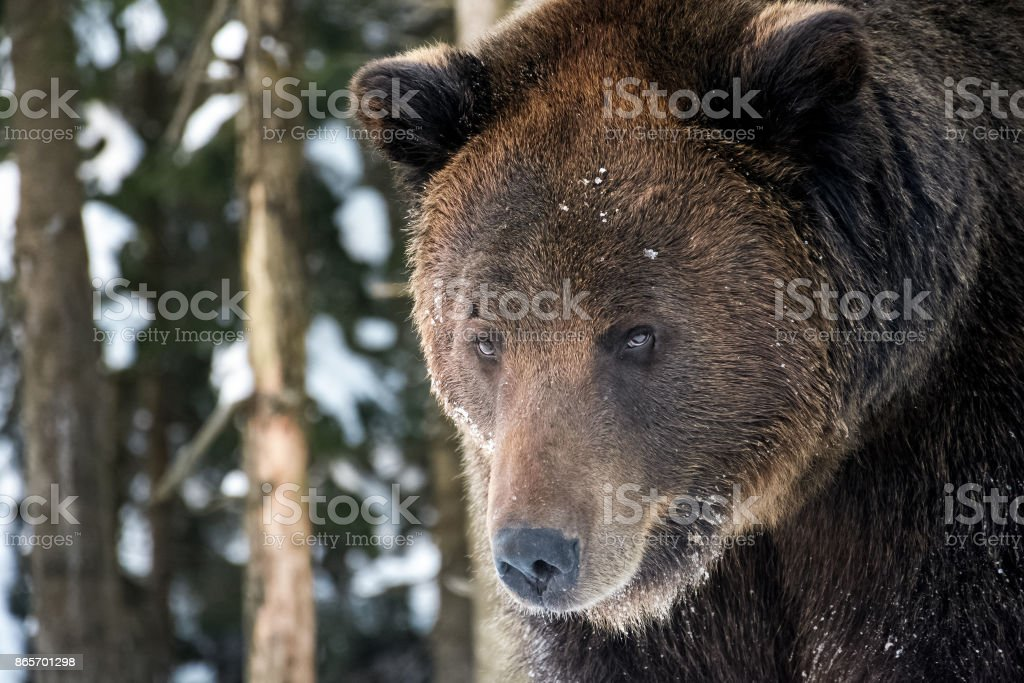 old brown bear staring somewhere stock photo