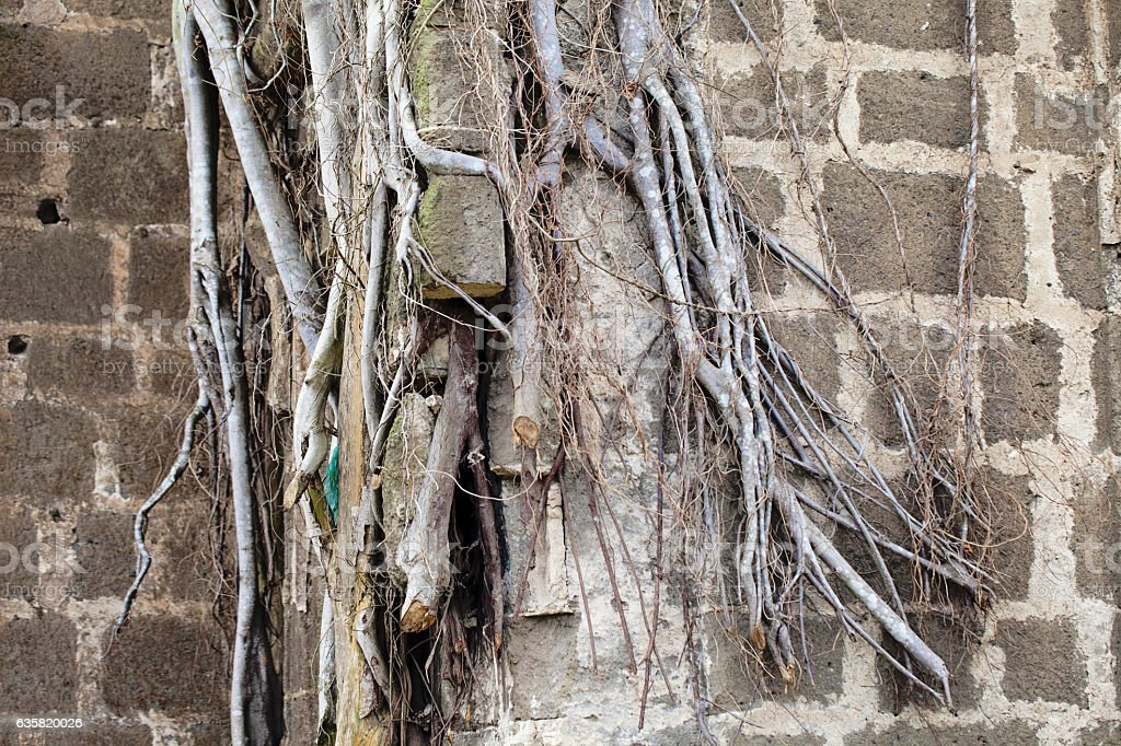 Old building with Vines stock photo