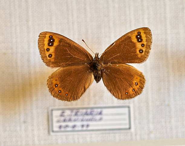 old butterfly in bad condition - curator stock pictures, royalty-free photos & images