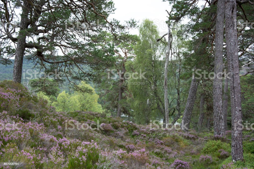 Old Caledonian Pine Forest stock photo