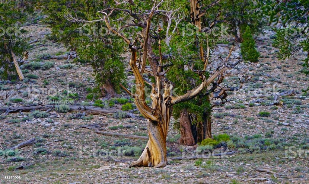 Old California Pine Tree stock photo