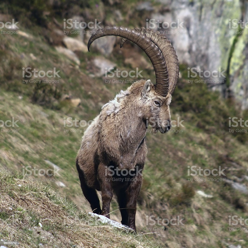 Old Capra Ibex royalty-free stock photo