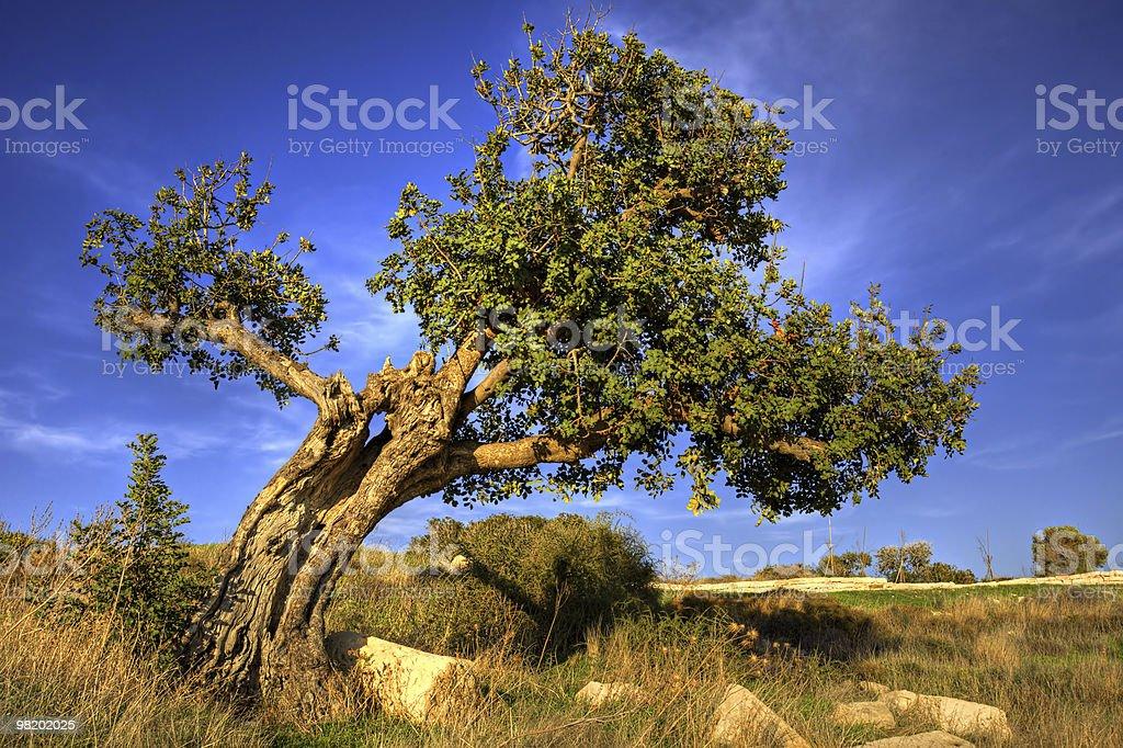 Old carob tree royalty-free stock photo