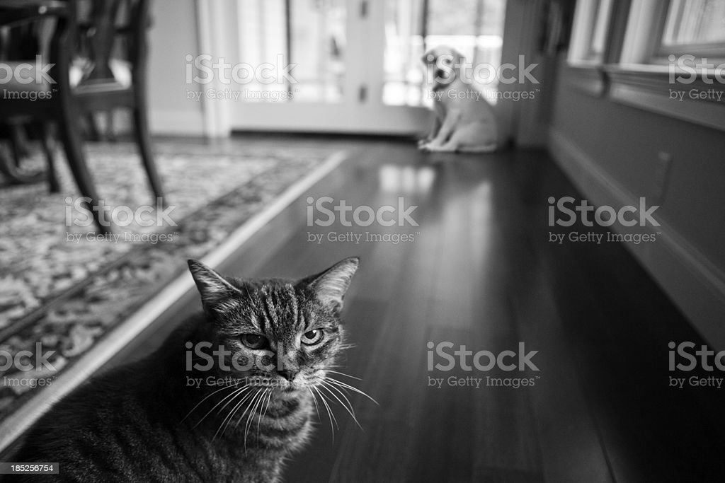 old cat and the new puppy stock photo