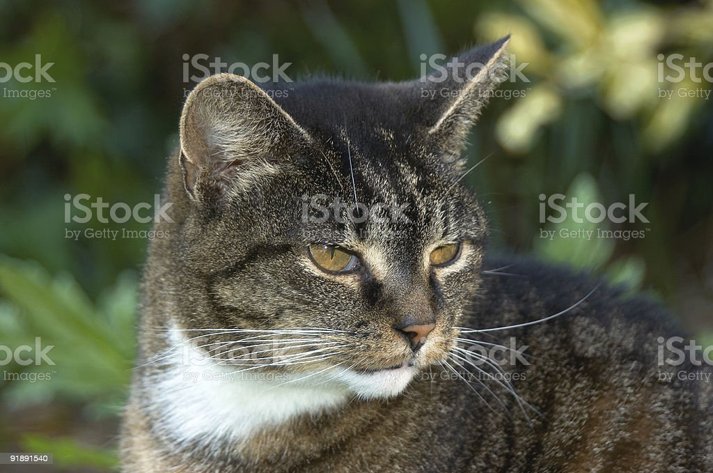 Old cat royalty-free stock photo
