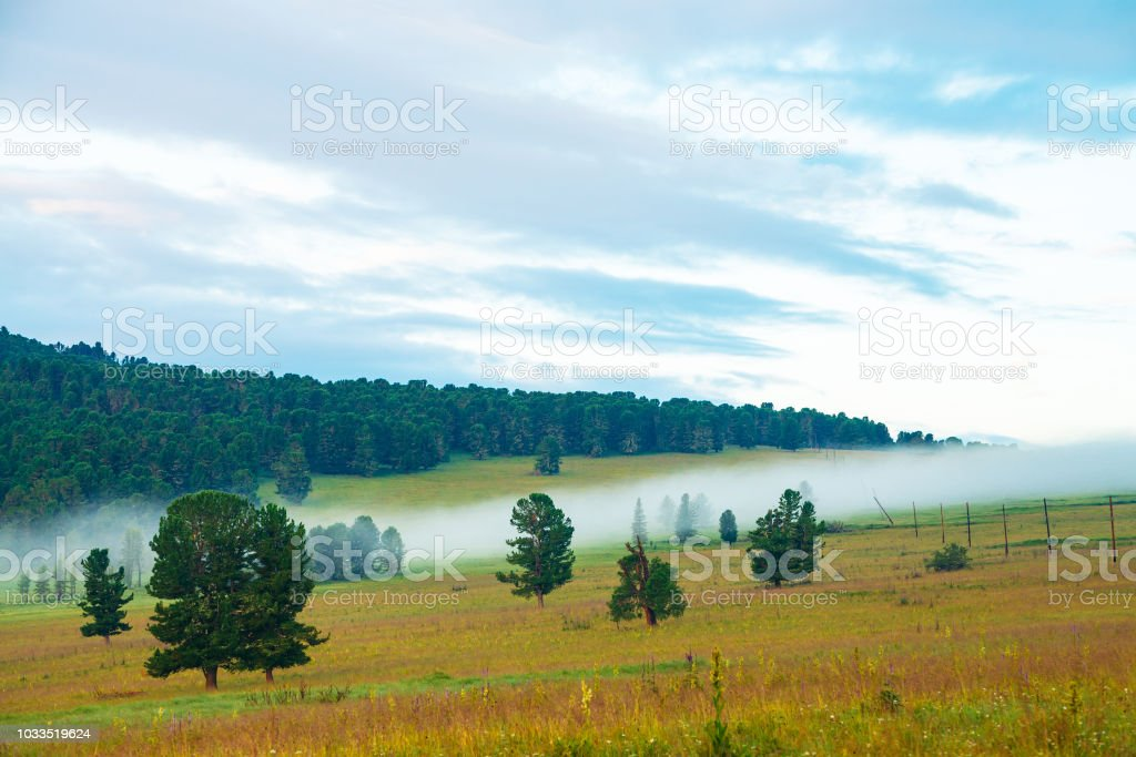 Old cedars. Foggy mountain landscape with coniferous trees in...