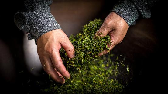 old chinese man makes longjing green tea in tea plantation