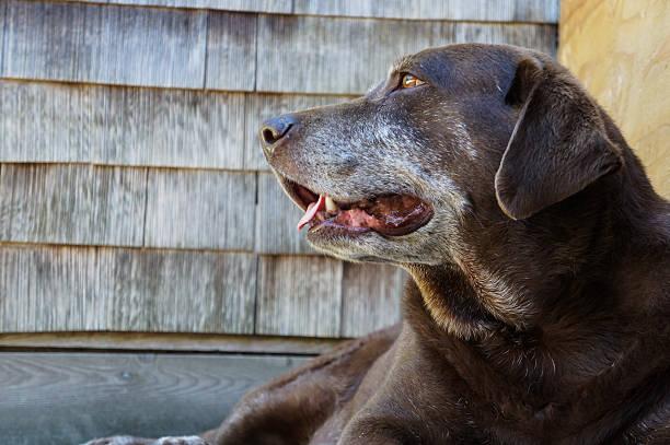 Old chocolate lab dog stock photo