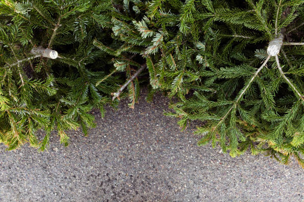 Old Christmas Trees stock photo
