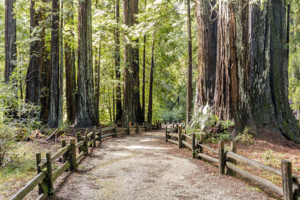 Old Coast Redwoods along the trail stock photo