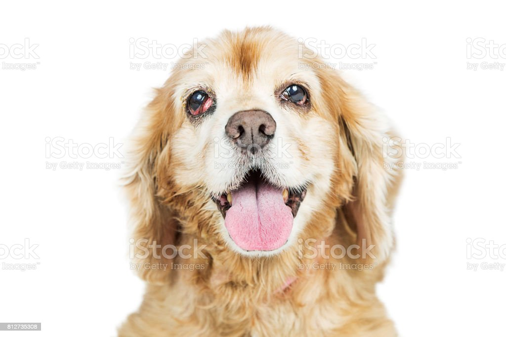 Old Cocker Spaniel Dog With Prolapsed Eye Gland stock photo