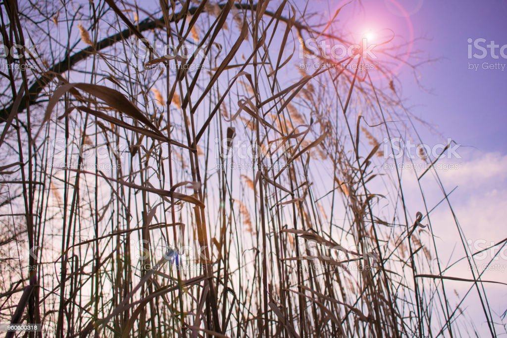 old colorless bulrush on the background of the sunset and the blue sky stock photo
