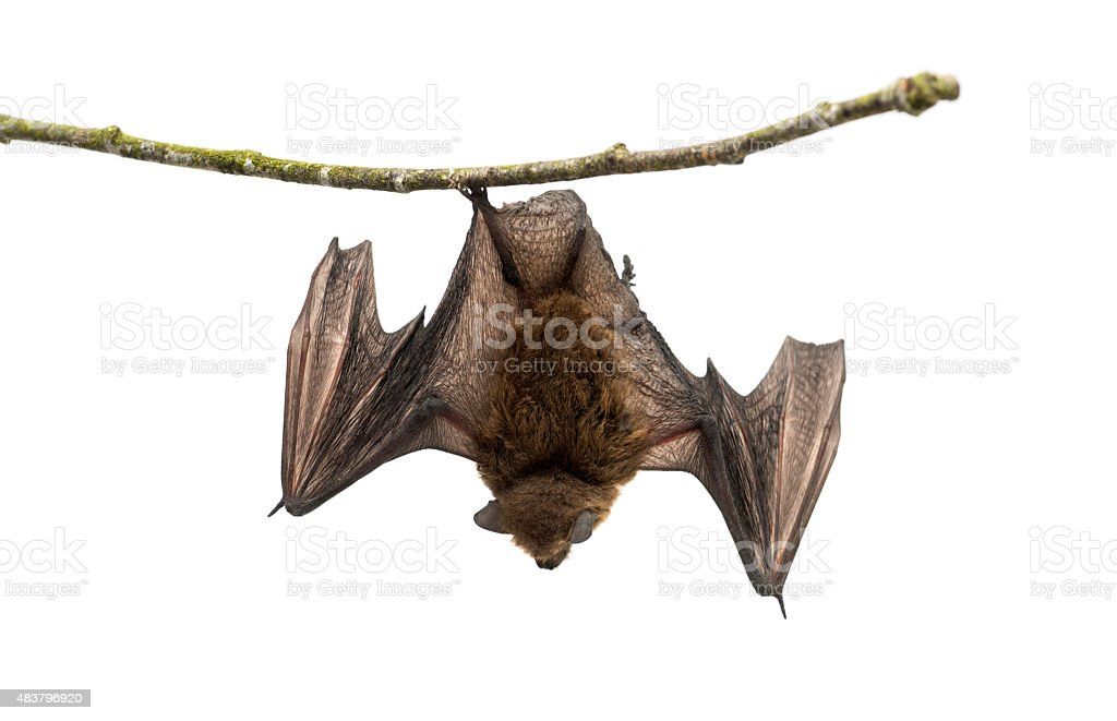 Old common bent-wing bat perched on a branch stock photo