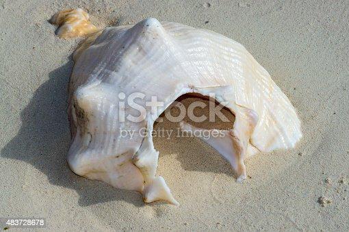 a broken Queen Conch shell half burried on the beach