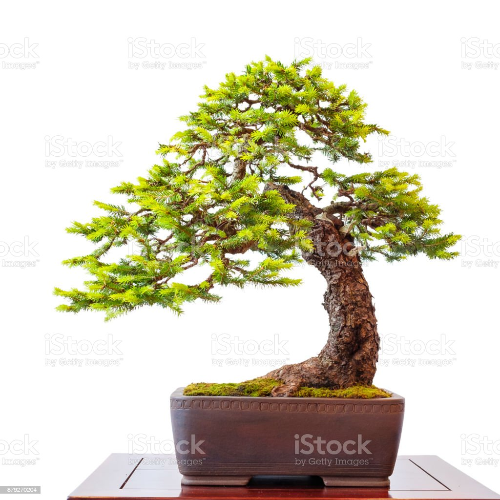 Old Conifer Common Spruce As Little Bonsai Tree Stock Photo Download Image Now Istock
