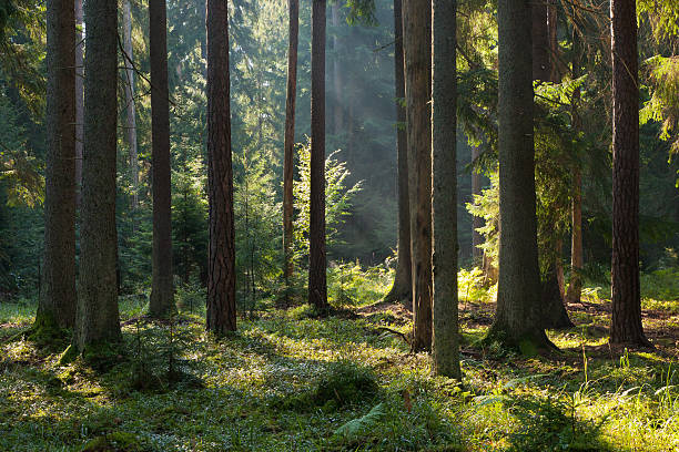 old coniferous stand of bialowieza forest in summer morning - naaldbos stockfoto's en -beelden