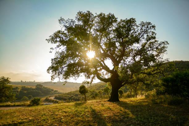 Velho sobreiro (Quercus suber) no sol de noite, Alentejo Portugal Europa - foto de acervo