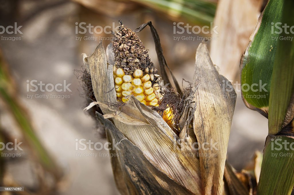 Old Corn royalty-free stock photo