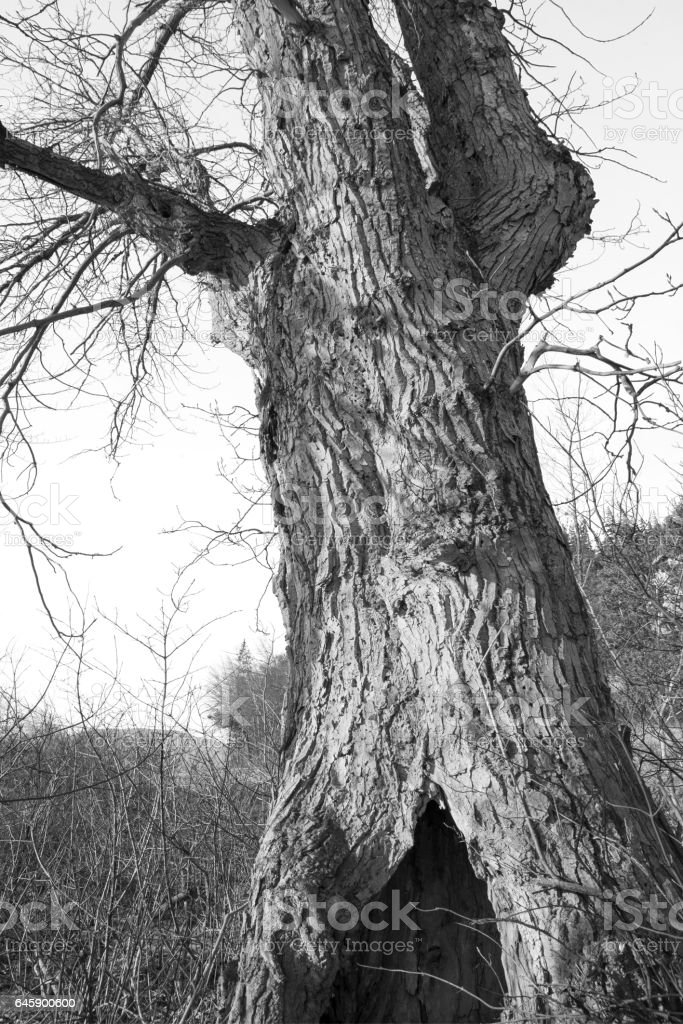 Old cottonwood in winter stock photo