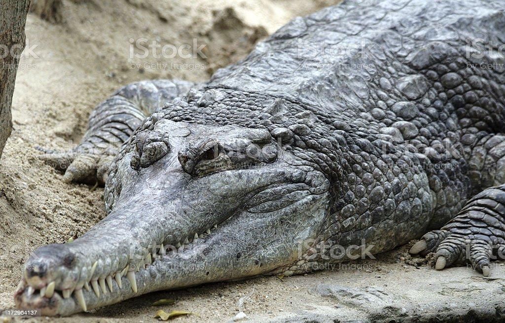Old Crocodile royalty-free stock photo