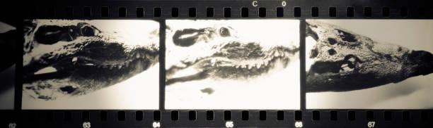 Old Crocodile Skull stock photo