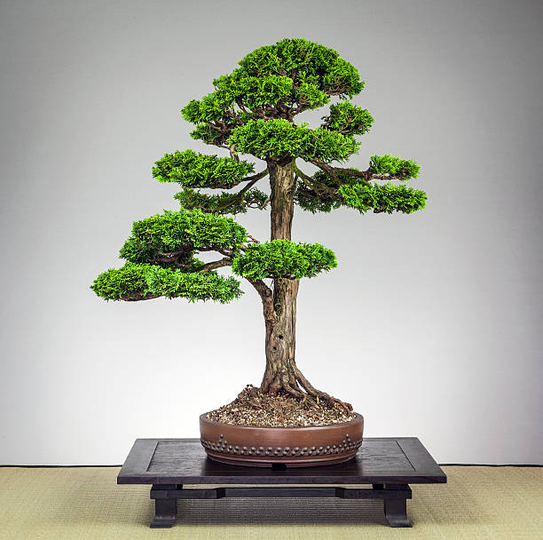 Old Cypress Hinoki Bonsai Tree – Foto