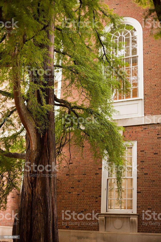 Old Cypress Tree stock photo