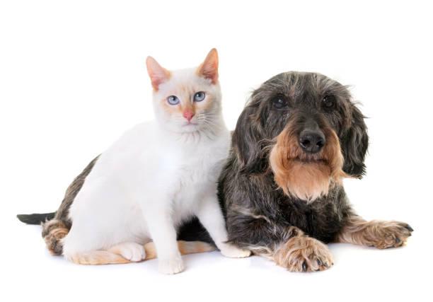 old dachshund  and kitten stock photo