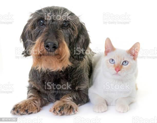 Old dachshund and kitten picture id874741282?b=1&k=6&m=874741282&s=612x612&h=p8cbgayaoudhgh5vix90pqs7z3eyumh7ekucyypicki=