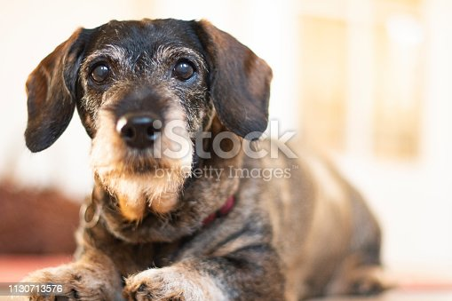 Old dachshund looking curious and a little bit annoyed into the camera