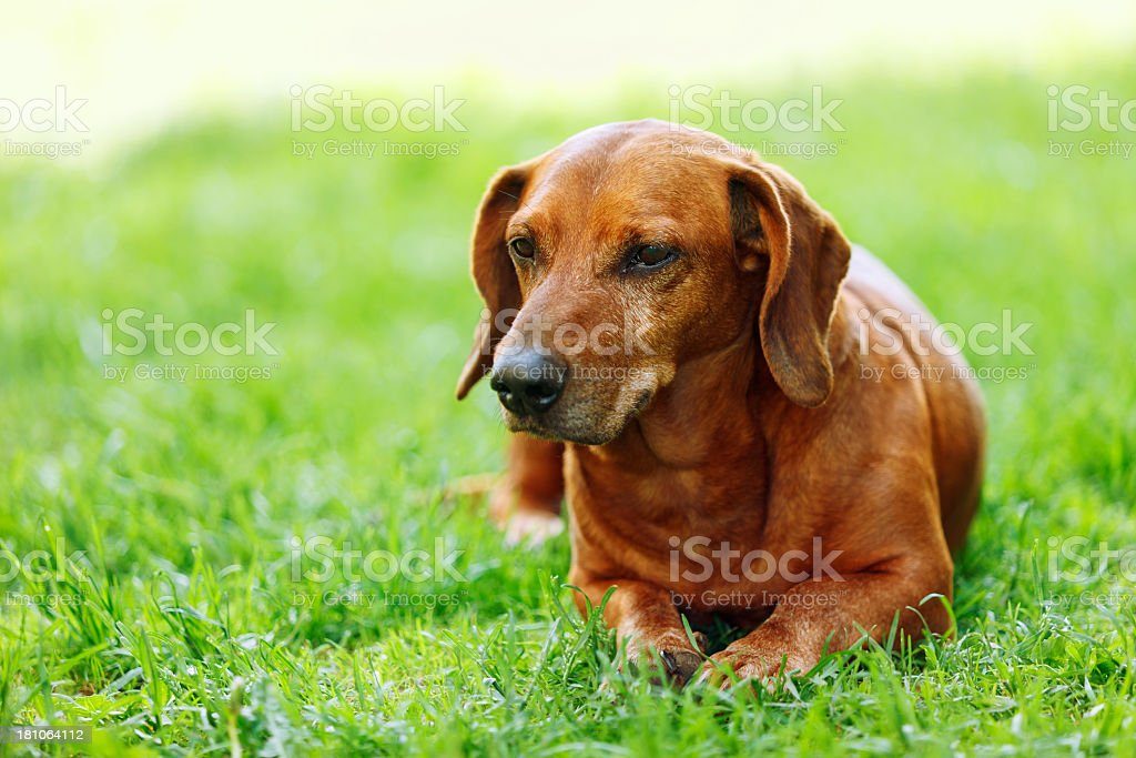 Old Dachshund royalty-free stock photo
