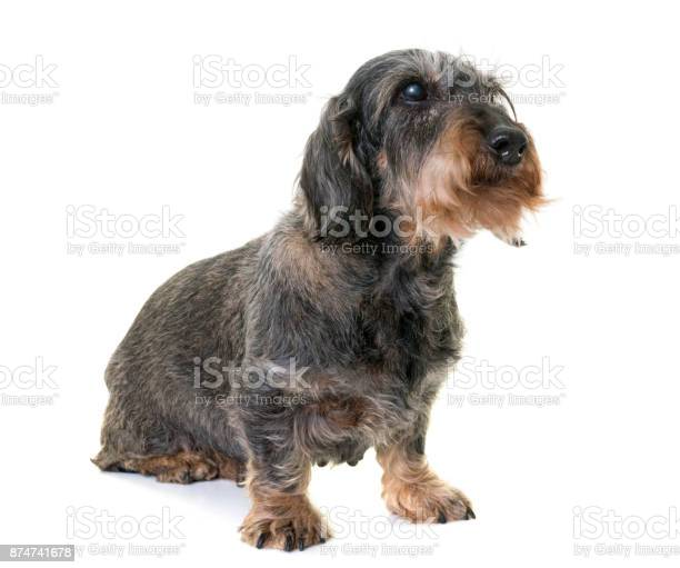 Old dachshund picture id874741678?b=1&k=6&m=874741678&s=612x612&h=n9w6tnfqpkuxr chsphkmbtwycibceueix npjyvyhi=