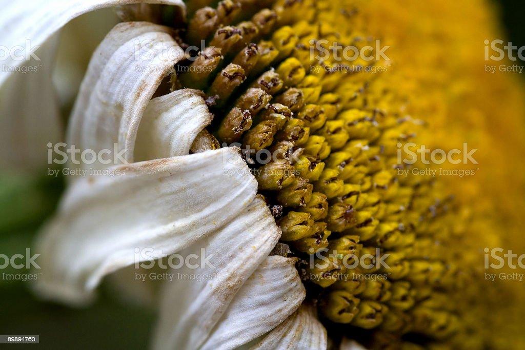 Старый daisy-колесо Стоковые фото Стоковая фотография