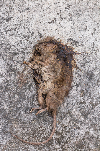 Old Dead Mouserat Diedead Rat On Concrete Stock Photo - Download