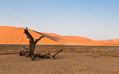 istock Old dead tree in front of sand dunes 526150754