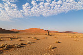 istock Old dead tree in front of sand dunes 526151084