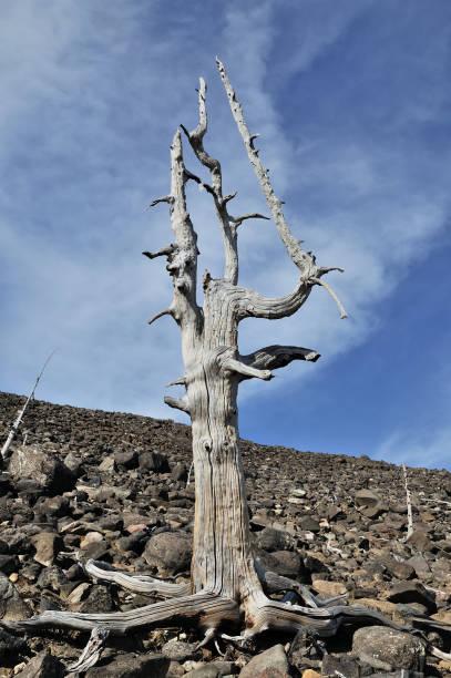 Alte tote Bäume. – Foto