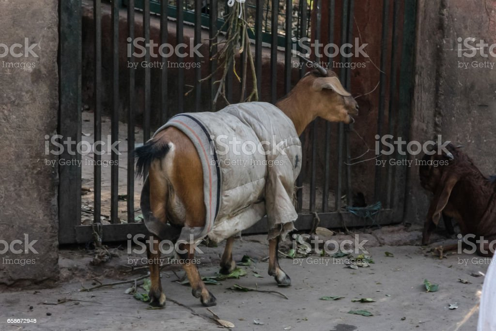 old delhi transportation and animals in streets market stock photo