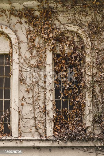 Old deserted house facade covered in arid ivy and vegetation