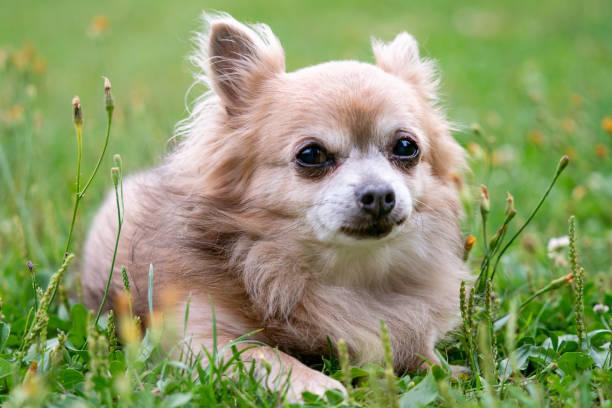 Alter Hund Chihuahua im grünen Rasen an einem Sommertag – Foto