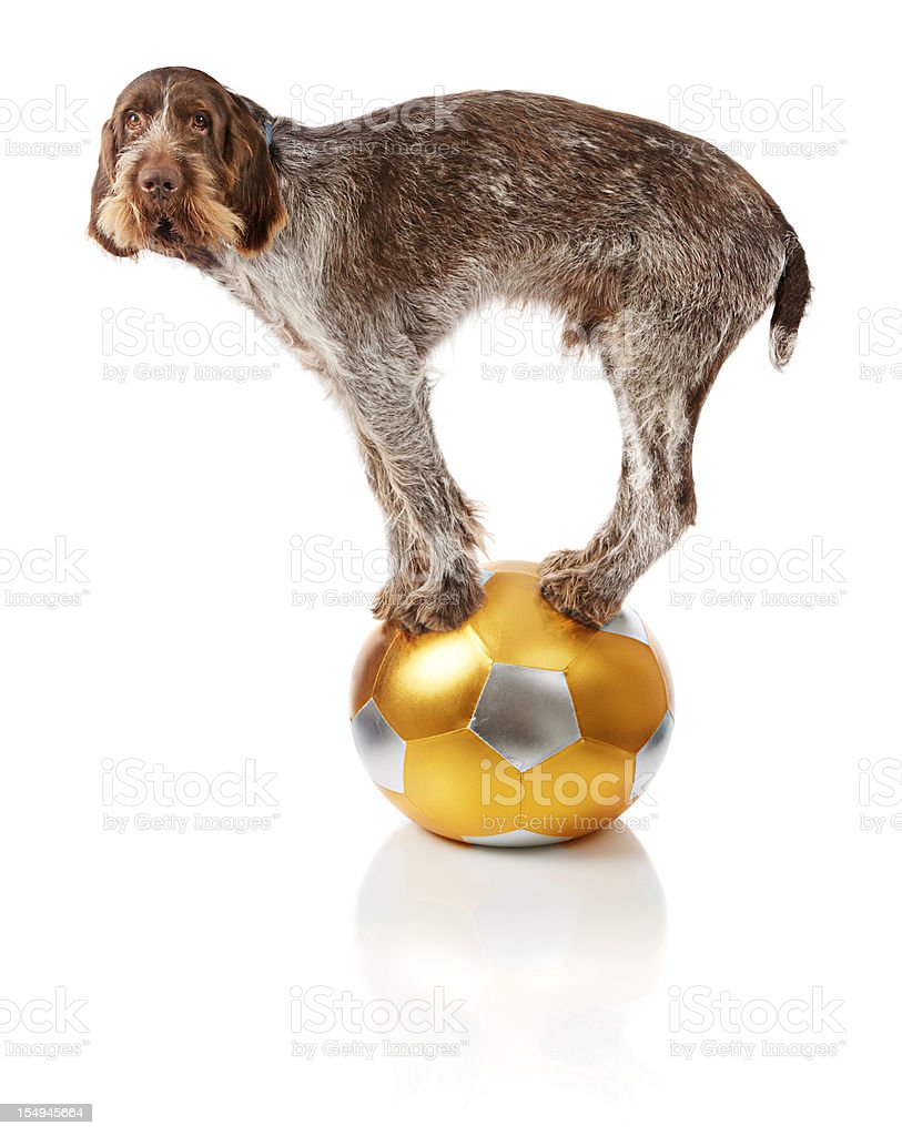 Old dog doing balance trick on ball stock photo