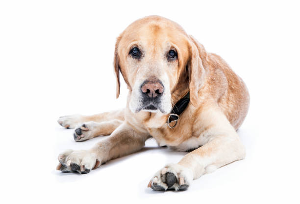 Old dog tired ( golden retriever) lying and watching in white studio. stock photo