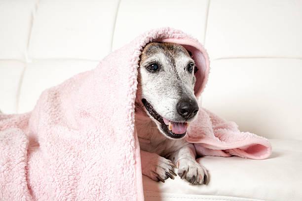 Old dog under blanket picture id584883330?b=1&k=6&m=584883330&s=612x612&w=0&h=flot2yrxiiewcjmvjiyno4oiehgnr1qomfiuuylmsrq=