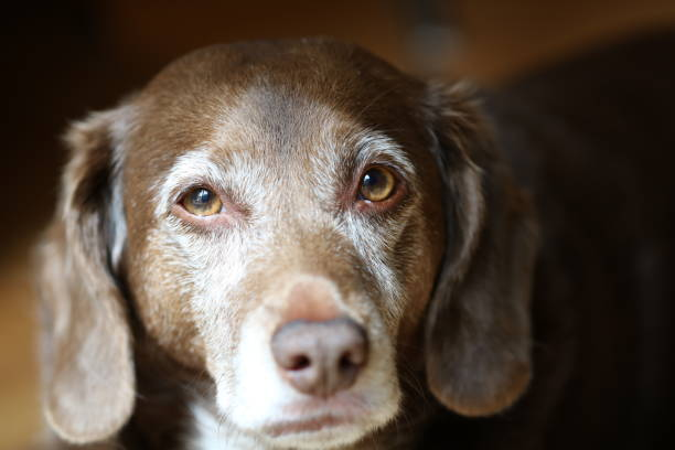 Old Dog with Brown and White Fur Looks at Camera Old brown dog with white around snout and eyes looks at camera mixed breed dog stock pictures, royalty-free photos & images
