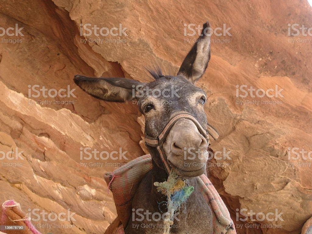 Old Donkey royalty-free stock photo
