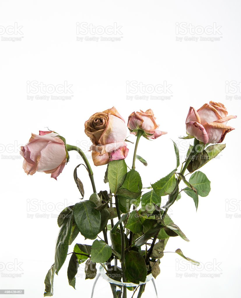 Old Dried Dead Pink Roses In A Vase Stock Photo More Pictures Of