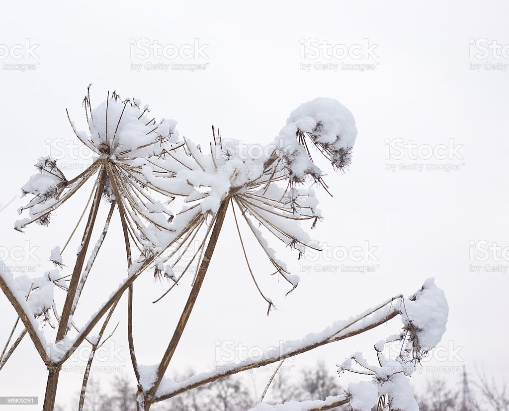 Old dry grass. Fresh snow royalty-free stock photo