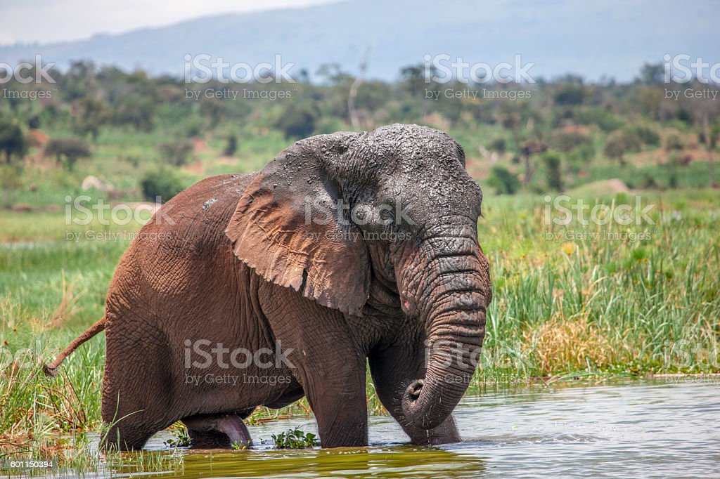 Old Elephant Bull in Akagera National Park stock photo