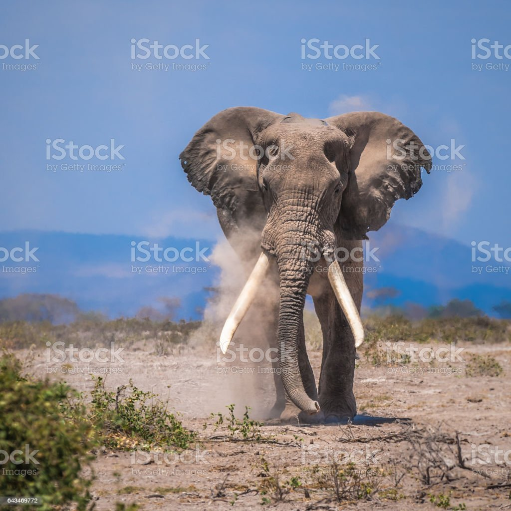 old elephant stock photo