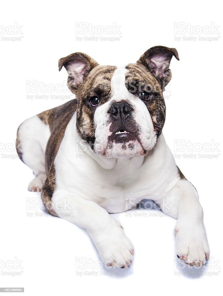 old english bulldog stock photo